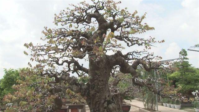 cây cảnh, bonsai