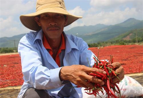 rớt giá, nông dân, nông sản, nông sản Việt,bán dương xỉ cho thương lái trung quốc