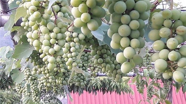 trồng nho trên sân thượng, siêu nông dân, trồng rau sạch