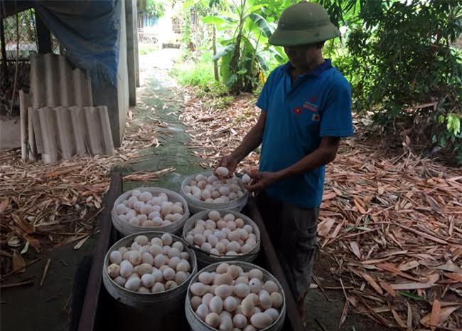 trứng gà, trứng gia cầm, giá trứng gia cầm giảm, giá thịt gà giảm, người chăn nuôi
