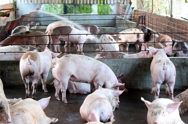 thịt lợn giảm giá, nuôi lợn, thit lợn, giải cứu lợn, chăn nuôi lợn
