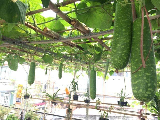 trồng dưa trên sân thượng, vườn rau sân thượng, thực phẩm sạch, nuôi gà trên sân thượng