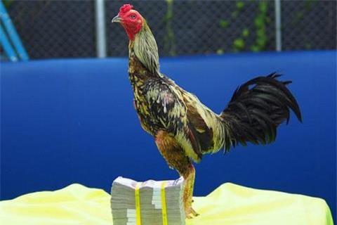 Gà chọi, thú chơi gà chọi, thị trường gà chọi