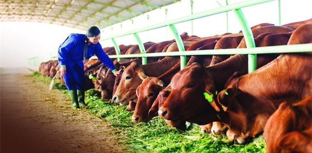 Trong năm 2016, biên lợi nhuận của ngành bò giảm khiến HAGL Agrico vẫn phải ghi nhận kết quả thua lỗ hơn 1.000 tỷ đồng.