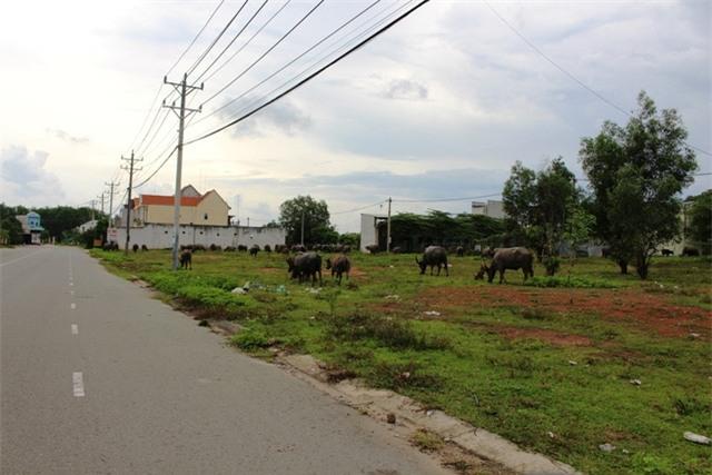 Hầu hết diện tích đất trong Khu đô thị này đang bỏ hoang, được người dân tận dụng chăn thả nhiều loại gia súc như trâu bò, dê, heo để kiếm thu nhập.