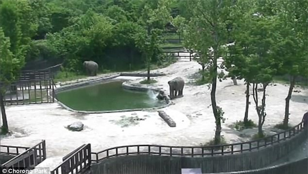 Phục sát đất màn phối hợp nhịp nhàng của đôi voi trưởng thành, cứu sống voi con trượt chân rơi xuống hồ - Ảnh 2.