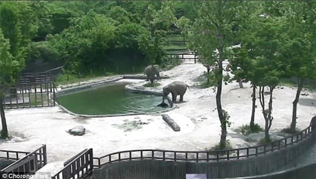 Phục sát đất màn phối hợp nhịp nhàng của đôi voi trưởng thành, cứu sống voi con trượt chân rơi xuống hồ - Ảnh 3.