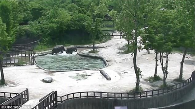 Phục sát đất màn phối hợp nhịp nhàng của đôi voi trưởng thành, cứu sống voi con trượt chân rơi xuống hồ - Ảnh 4.