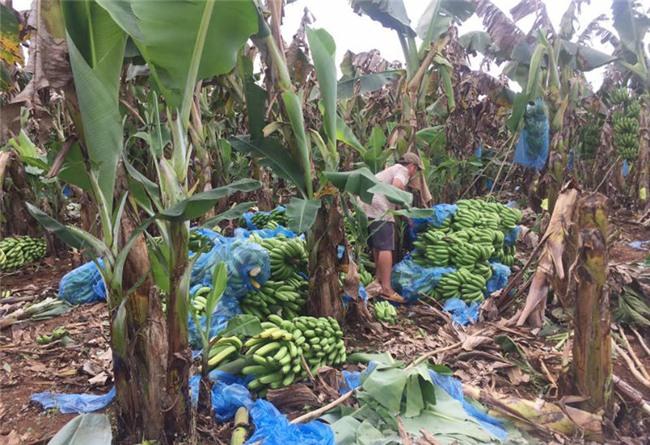 trồng chuối, giải cứu chuối, thương lái Trung Quốc, chuối