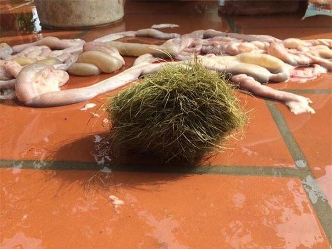 cát lợn, trư cát, lợn nái, vật thể lạ, nông dân, thịt lợn, trư sa