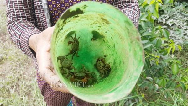 Dùng chai nhựa thải bẫy cáy, nông dân Cố đô kiếm 1 triệu đồng/ngày - 5