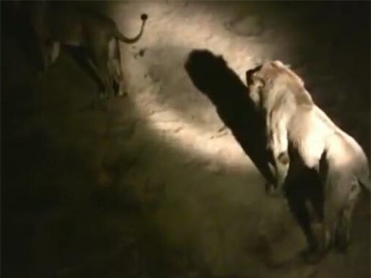 Bị sư tử bao vây, thai phụ sinh con trên xe cấp cứu - Ảnh 1.