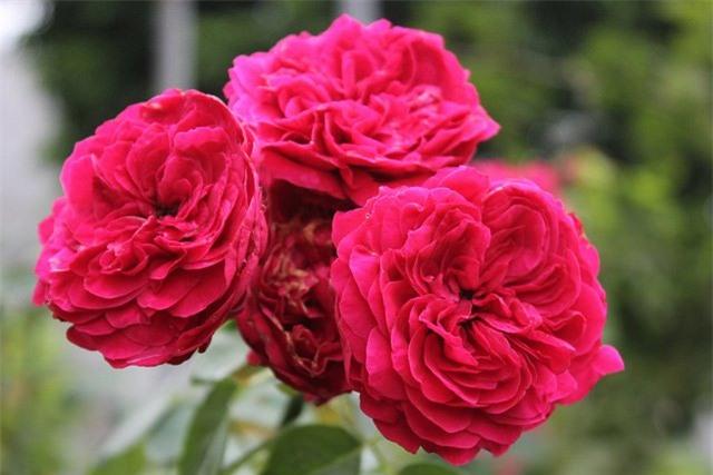 vườn hồng, hoa hồng, hồng cổ, làm giàu