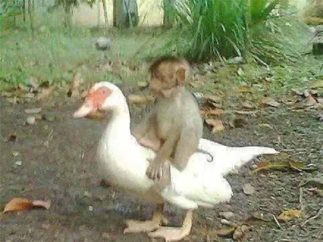 Thấy bạn khỉ vùng vẫy vì bị điện giật, ngỗng lao vào cứu nhưng kết cục cả 2 cùng thiệt mạng - Ảnh 1.