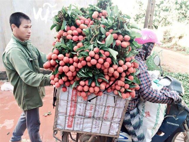 Thương lái Trung Quốc, vải thiều, nông sản mất giá, nông dân, thu mua,