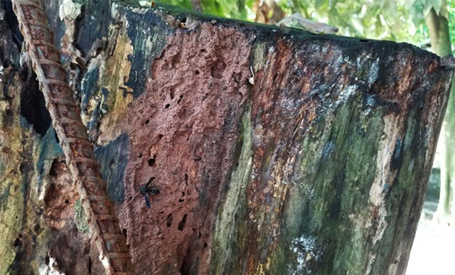 Phần còn lại của cây sưa đang khô dần, mục ruỗng.