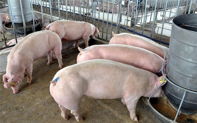 thịt lợn, thịt lợn tăng giá mạnh, người chăn nuôi, Bộ NN-PTNT, chăn nuôi lợn, giải cứu lợn