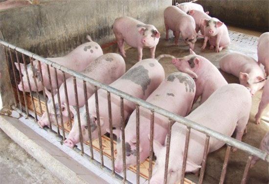giá thịt lợn tăng mạnh, Bộ NN-PTNT, cục chăn nuôi, người chăn nuôi