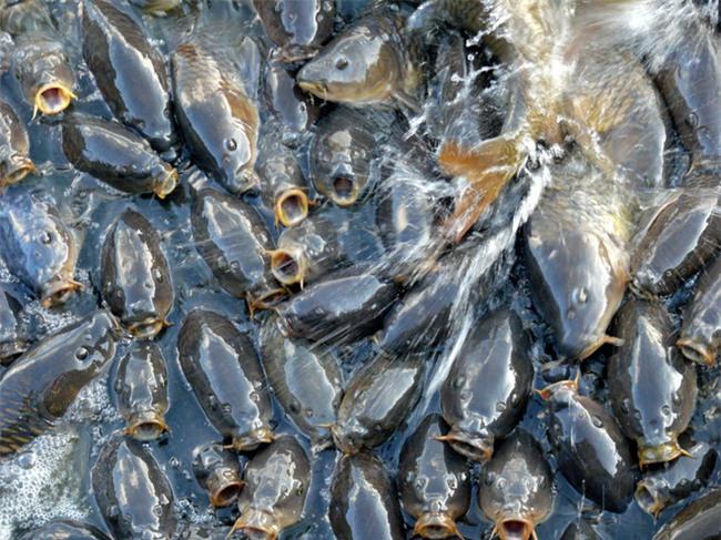 Không thể tin nổi có một hồ nước nhiều cá đến nỗi cá không có chỗ để quẫy đuôi - Ảnh 6.