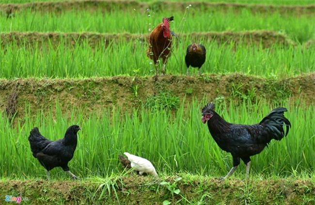 gà xương đen, quà quý, nuôi gà, thịt gà