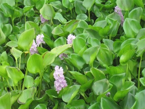 Béo tây vốn là loại cây khá phổ biến ở nông thôn tuy nhiên ít khi được sử dụng trong bữa ăn gia đình