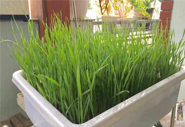 lúa mì, trồng rau sạch, nông dân phố, trồng lúa