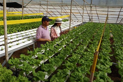 tỷ phú nông dân, về quê, làm giàu, trồng rau