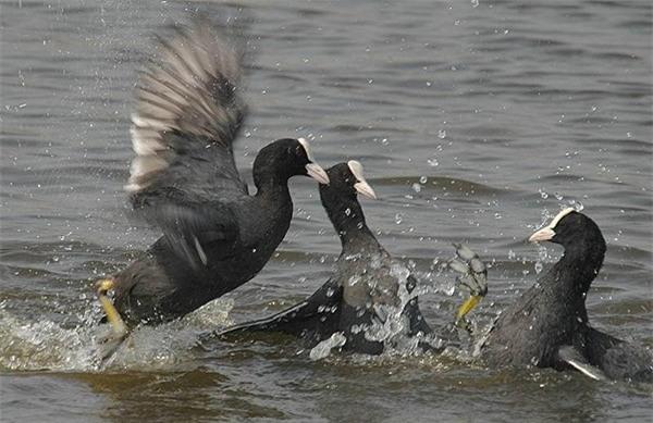 Sâm cầm tự nhiên hiện nay rất hiếm, một số trang trại ở Hà Nội cũng đang nhân giống, nuôi thử nghiệm loại chim này.
