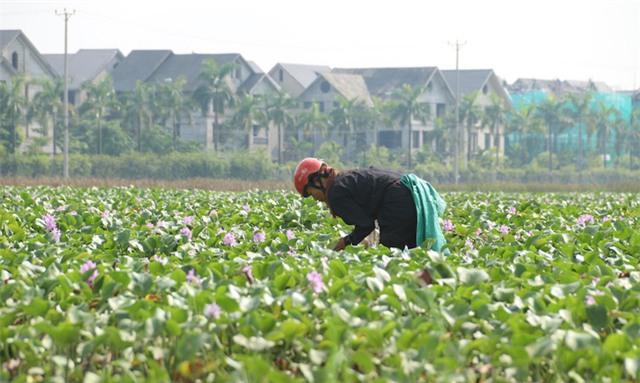 Một phụ nữ đang miệt mài bới móc bèo tây để bắt ốc bươu vàng. Những ngày qua Hà Nội có mưa liên tục, cũng là điều kiện thuận lợi cho ốc bươu vàng sinh sôi.