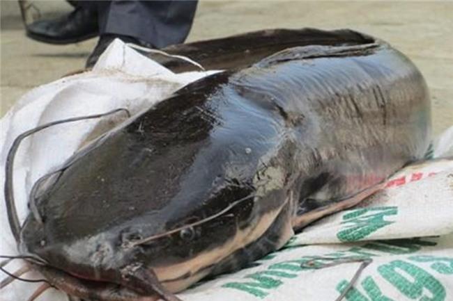 thủy quái, cá trê, cá khủng, cá lạ, cá Trung Quốc