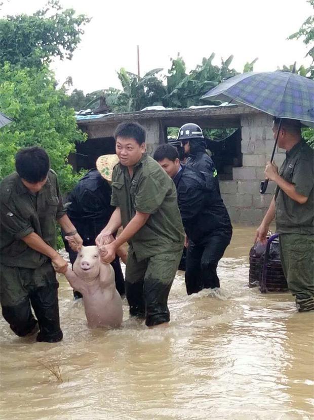 Được cứu khỏi chuồng nuôi ngập nước, thánh lợn biểu cảm bỗng trở thành hiện tượng mạng xã hội - Ảnh 1.
