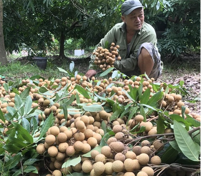 Người nông dân thu hoạch nhãn (Nguồn: Báo Lao Động)