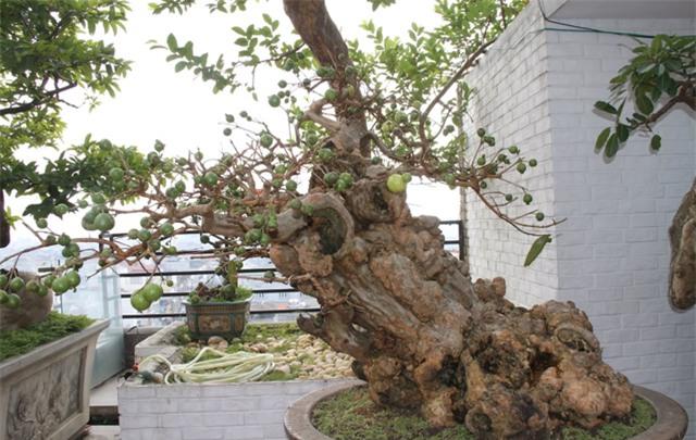 siêu cây tiền tỷ, cây cổ thụ, cây cảnh tiền tỷ, cây cảnh