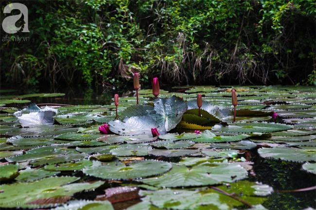 Không cần đi đâu xa, tới chùa Hương ngắm hoa súng đầu mùa đẹp như trong tranh - Ảnh 6.