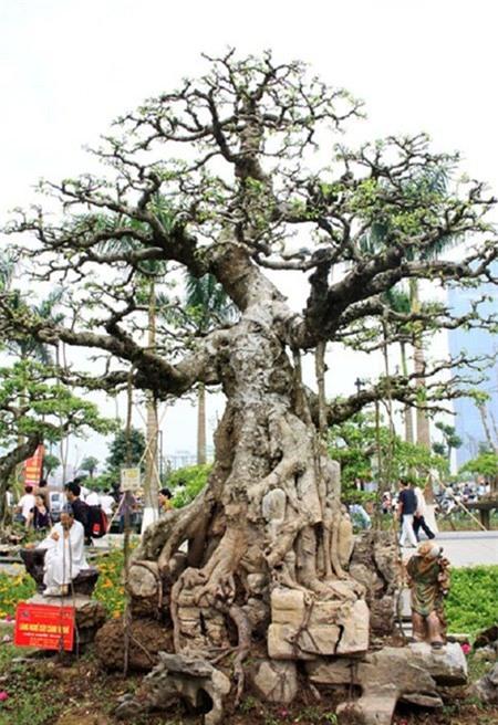 cây cảnh, cây cảnh triệu đô, chơi cây