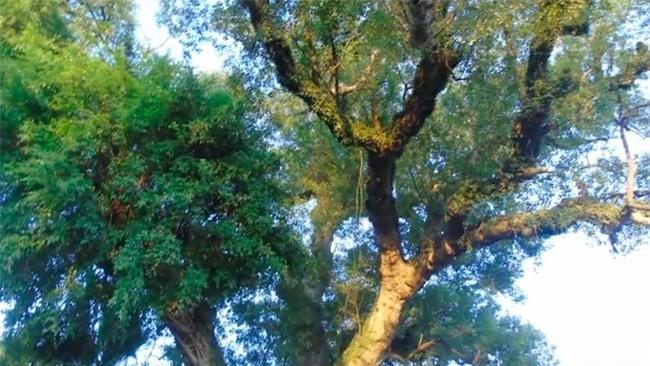 cây cổ thụ, cây quý, cây dã hương