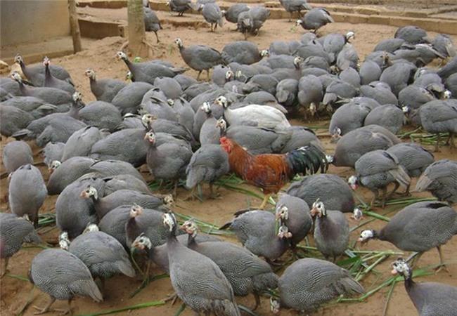 nông dân làm giàu, nuôi gà sao, chăn nuôi, nuôi gà