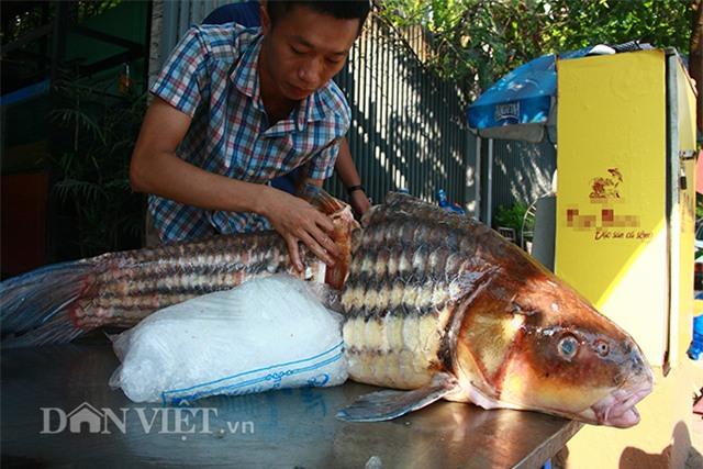 cá khủng, thủy quái, đặc sản nhà giàu, hải sản, cá hô, cá sọc dưa