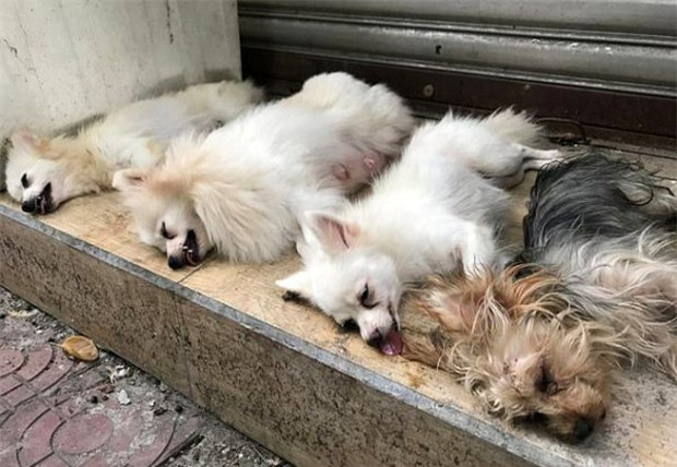 Gây mất trật tự, nhiều chú chó bị bác sĩ làng banh họng và cắt dây thanh quản giữa chợ - Ảnh 6.