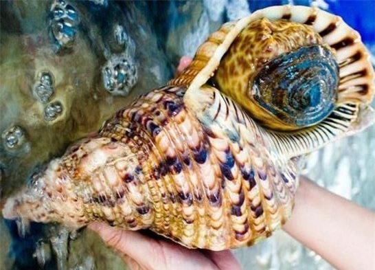 ốc hoàng hậu, ốc biển, đặc sản nhà giàu, hải sản biển