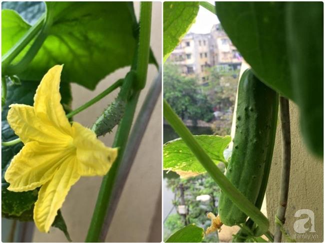 Khu vườn vỏn vẻn 5m² trên ban công nhà phố nhưng như một trang trại rau quả sạch giữa lòng Thủ Đô - Ảnh 20.