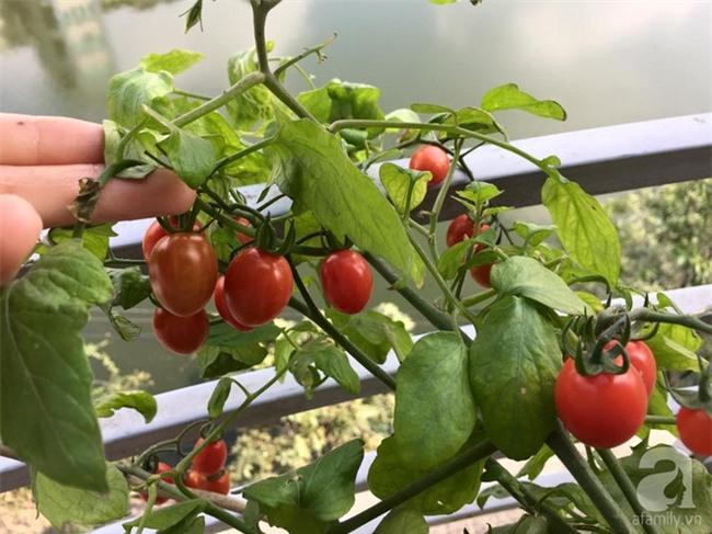 Khu vườn vỏn vẻn 5m² trên ban công nhà phố nhưng như một trang trại rau quả sạch giữa lòng Thủ Đô - Ảnh 3.