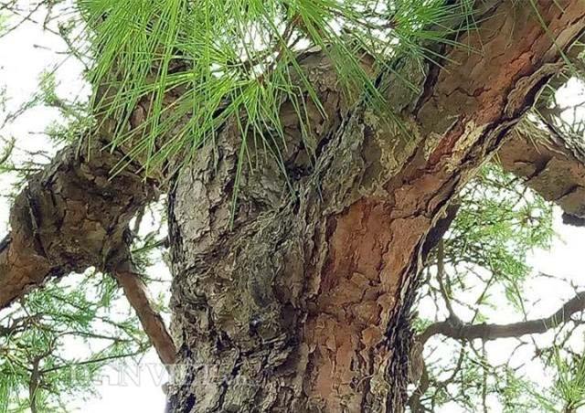 cây cổ thụ, cây cảnh tiền tỷ, cây cảnh