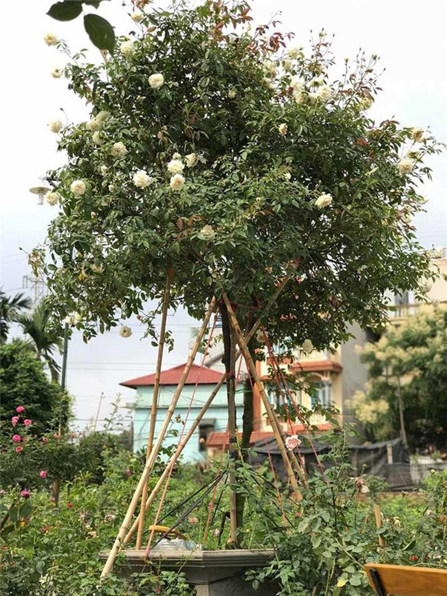 vườn hồng cổ, hoa hồng, vườn hồng đẹp, vườn hồng, tree rose