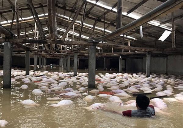 Xót xa nhìn ngàn con lợn chết trắng chuồng trong mưa lụt - 3