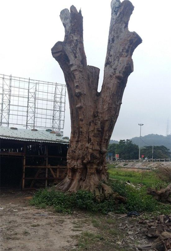 Vì sao cây gỗ trả giá 1 triệu USD không bán ở Thanh Hóa lại được xem là báu vật? - Ảnh 2.