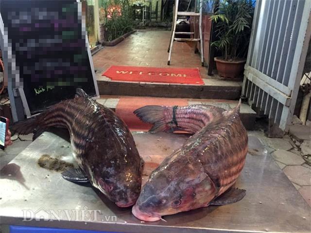 thủy quái, cá tiến vua, cá khủng