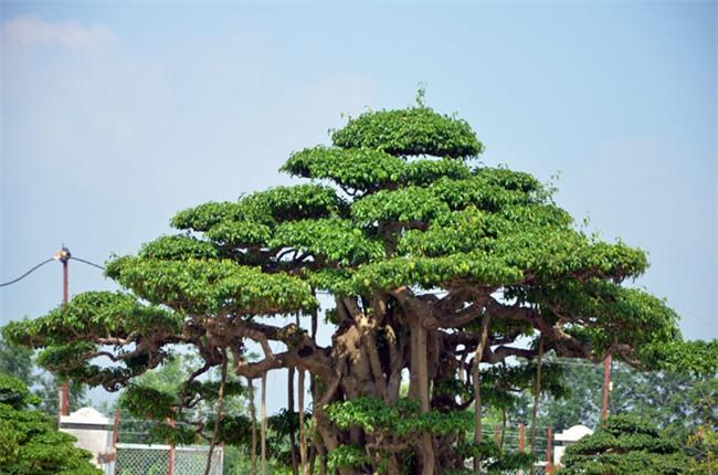 cây cổ thụ, cây cảnh, cây cảnh tiền tỷ