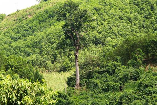 cây cổ thụ, gỗ quý, gỗ lim