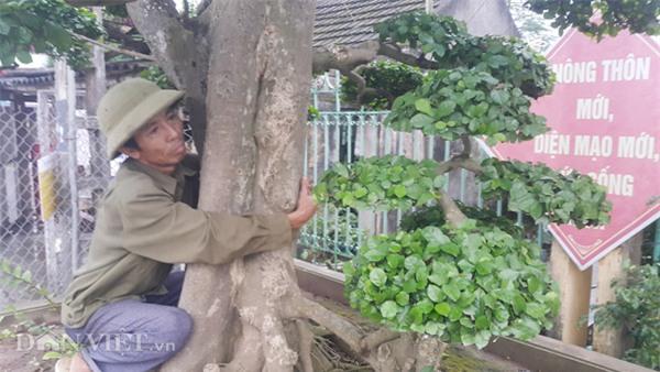 siêu cây tiền tỷ,cây cổ thụ,cây cảnh tiền tỷ,cây cảnh